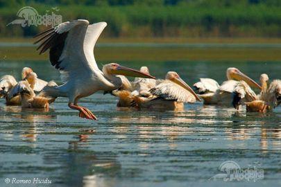 pelicani delta dunarii romania